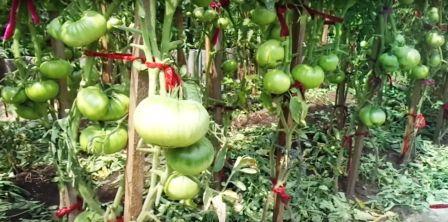 Кусты томатов с плодами