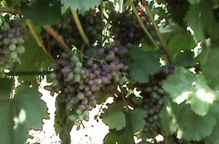 Виноград во время созревания