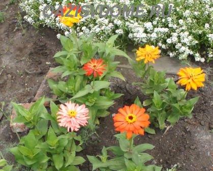 Циния кактусовидная в начале цветения