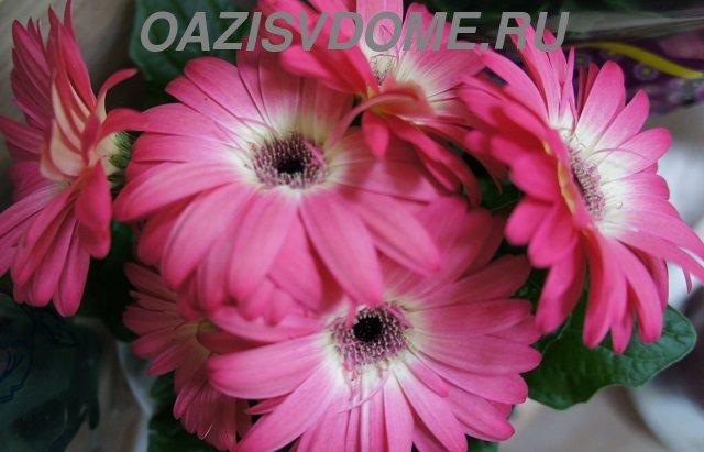 Цветы герберы в горшке