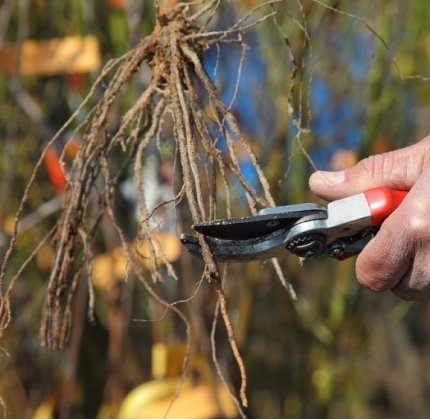 Укорачивание корней винограда