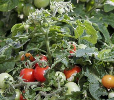 Плодоношение томатов Дубрава