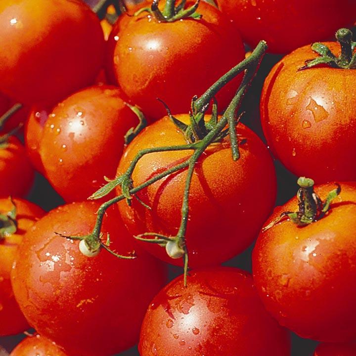 Урожай томатов Дубок
