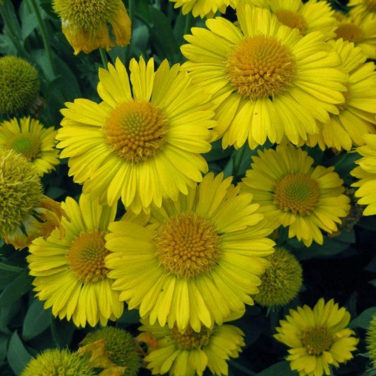 Гайлардия с желтыми цветами
