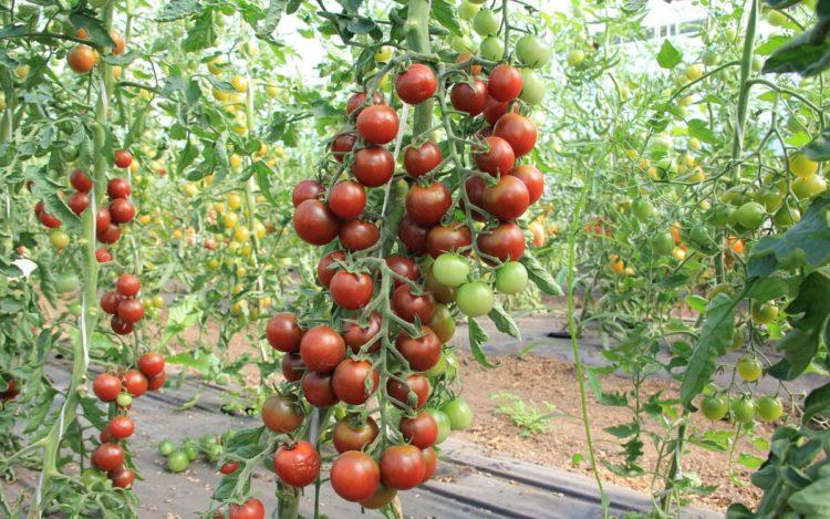 Урожай томатов Красным Красно