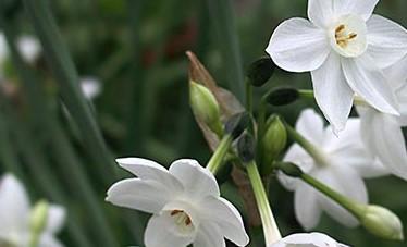 Нарциссы сорта Бумагообразный Papyraceus