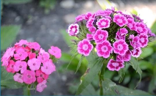 Турецкая гвоздика розовая