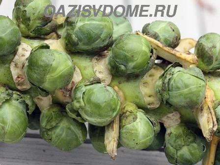 Когда сажать брюссельскую капусту на рассаду