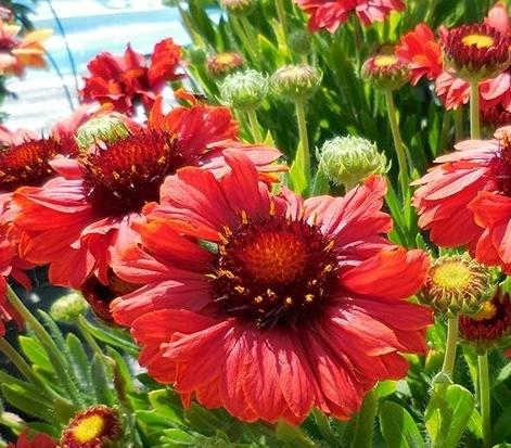 Цветение садовой гайлардии