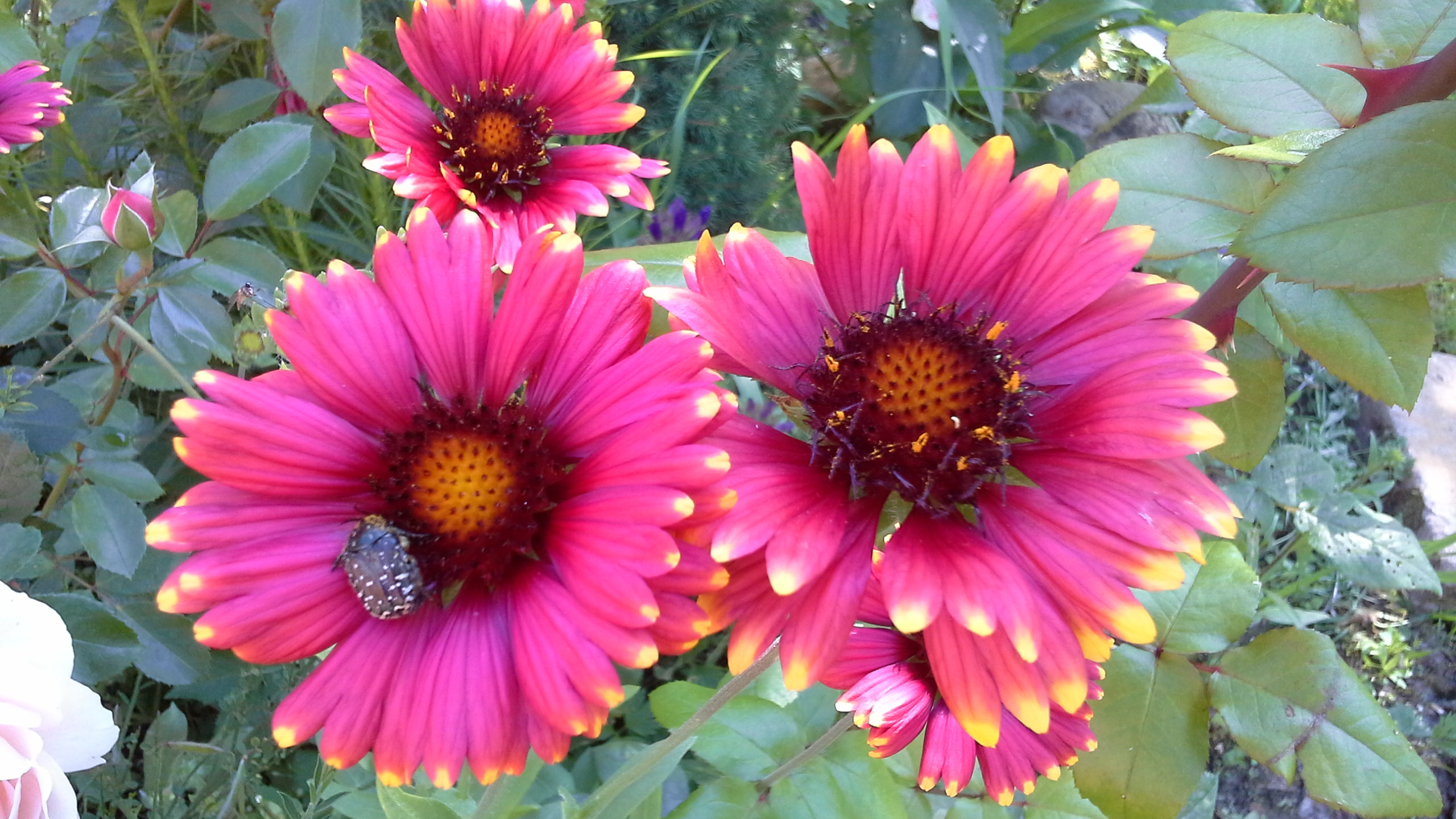 Садовый цветок гайлардия