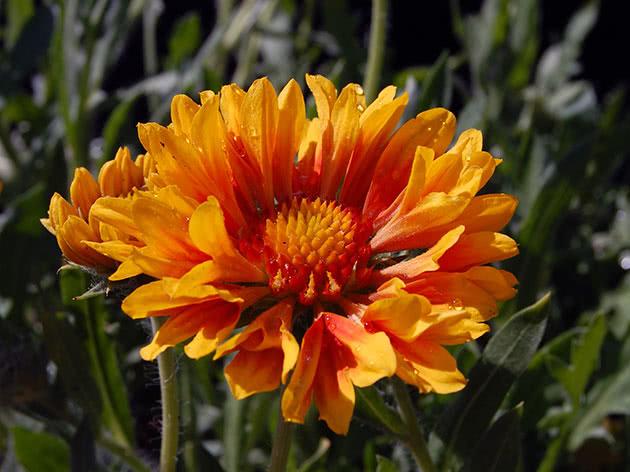 Цветок гайлардии