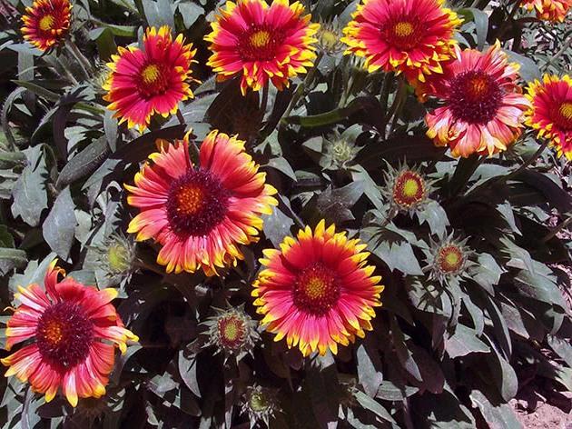 Цветение гайлардии в саду