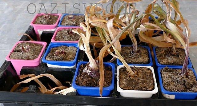 Гиацинты в горшках после цветения с засохшими листьями