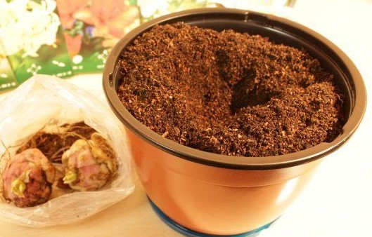 Луковицы и горшок для посадки лилий