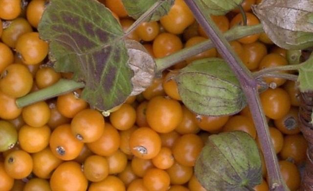 Урожай ягодного физалиса