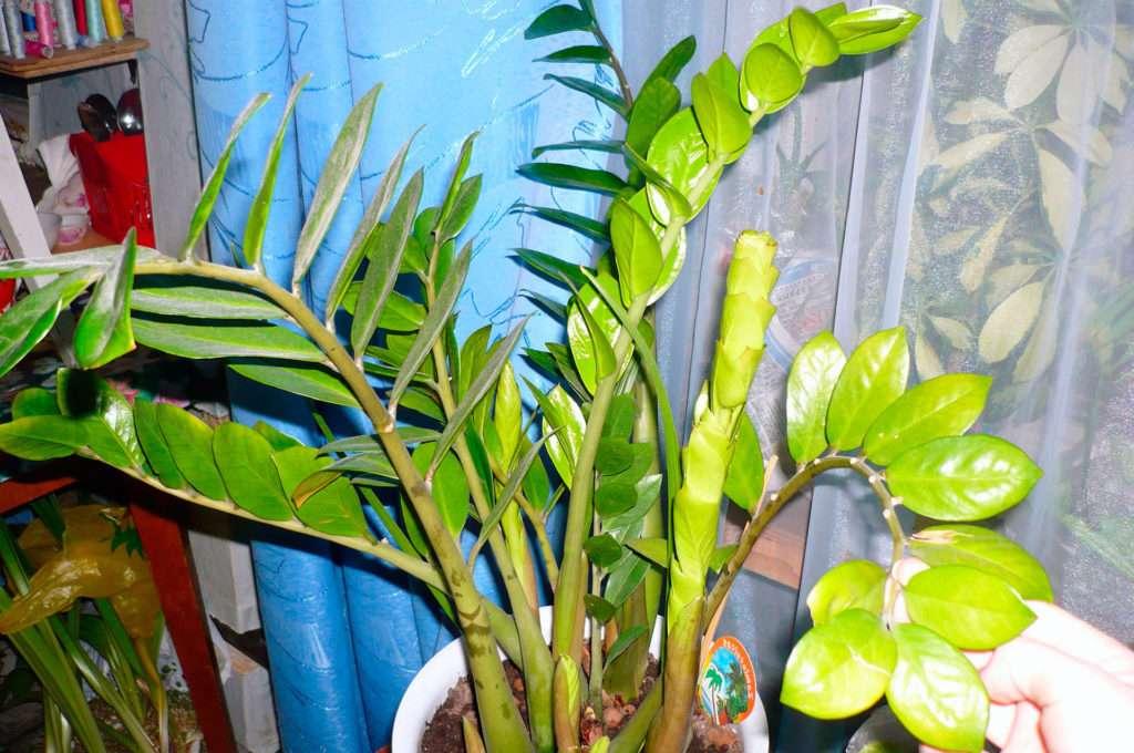 Желтеют у замиокулькаса листья