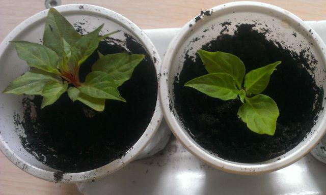 Выращивание рассады целозии в стаканчиках