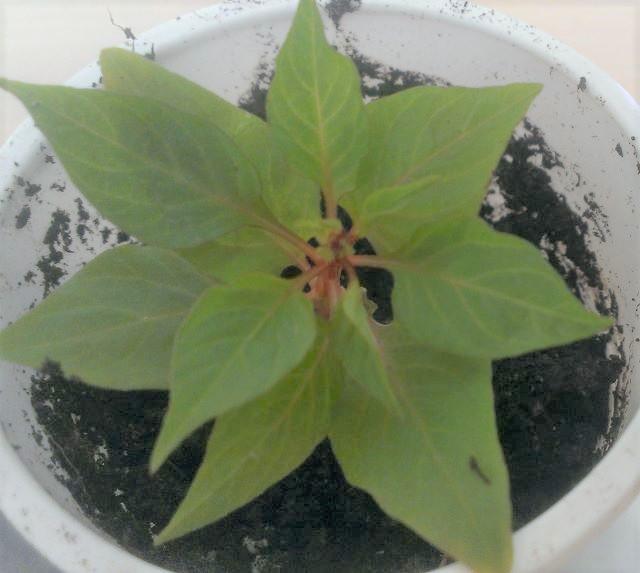 Выращивание целозии в домашних условиях