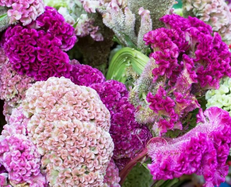 Цветение в саду целозии гребенчатой