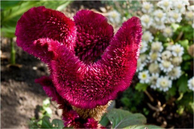 Целозия гребенчатая с соцветием в виде петушиного гребешка