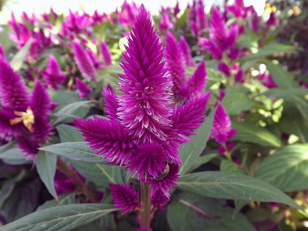 Цветение целозии в саду