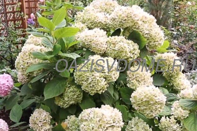 Садовая гортензия: правильный уход весной после зимы