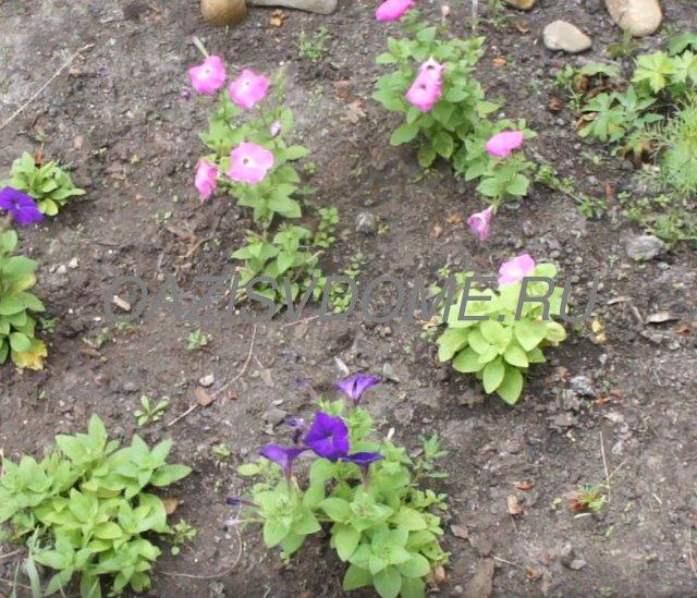 Начало цветение петунии