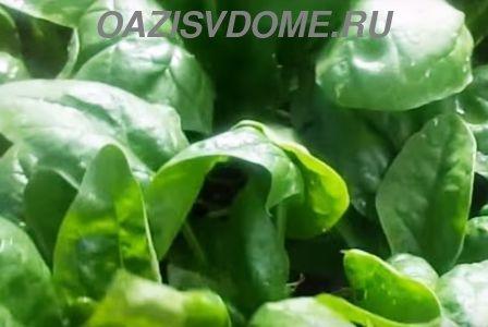 Посадка, уход и выращивание шпината