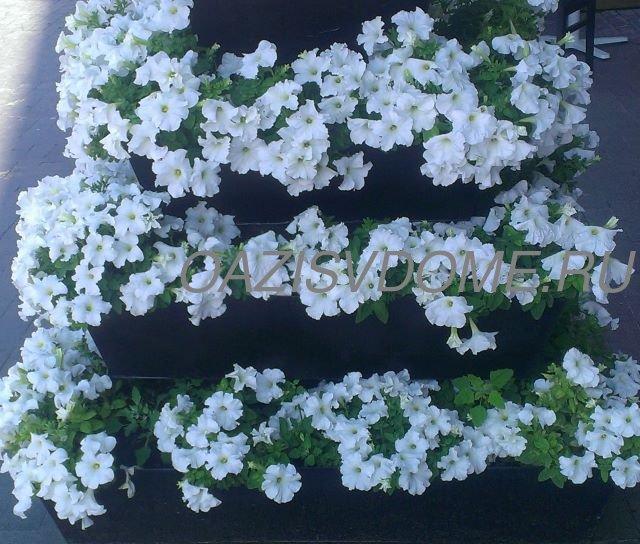 Выращивание рассады петунии после всходов