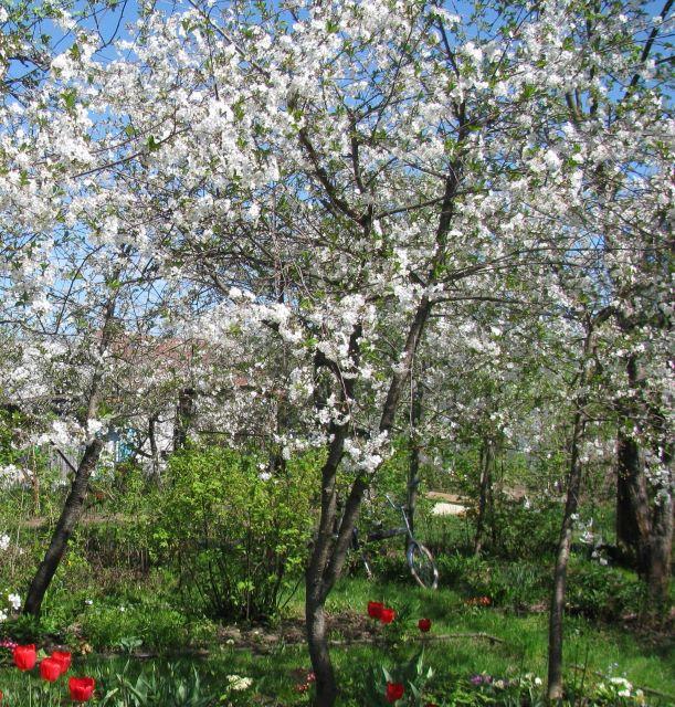 Вишневые деревья во время цветения