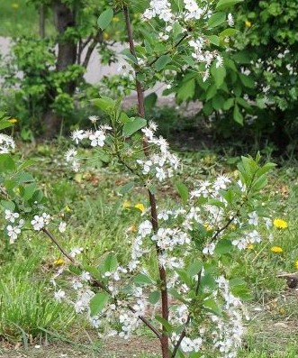 Молодая вишня в саду