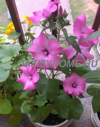 Шикарная лаватера: личный опыт выращивания из семян