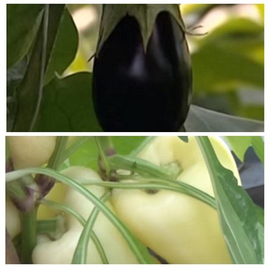 Лунный календарь выращивания перцев и баклажанов
