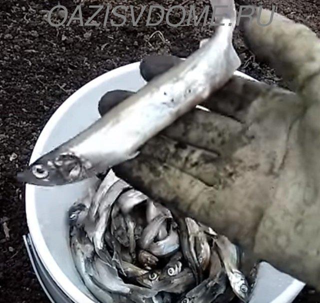 Рыба как удобрение для растений