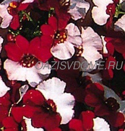 Немезия: сорта с фото, выращивание из семян, когда и как сажать на рассаду пошагово