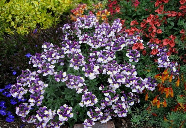 Прекрасный цветок немезия