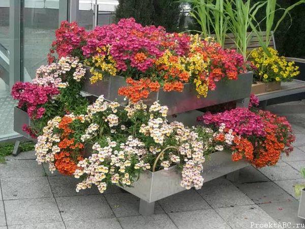 Цветущая немезия