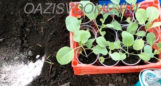 Что положить в лунку при посадке капусты
