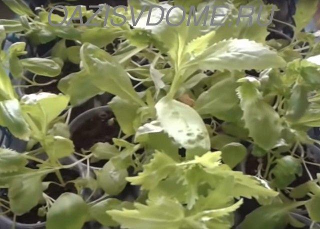 Рассаде немезии 1,5 месяца