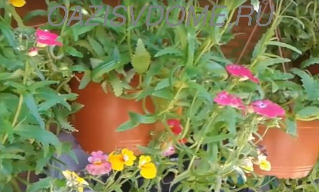 Начало цветения немезии