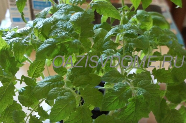 Выращивание рассады томатов в Улитке