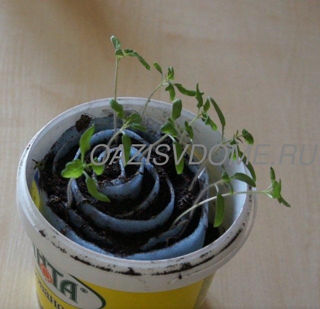 Рассаде помидоров в Улитке две недели