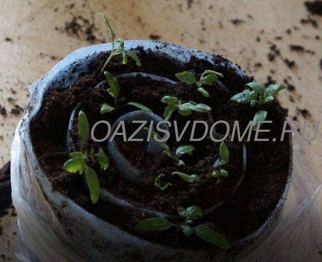 Рассада помидоров в Самокрутке после первой пикировки