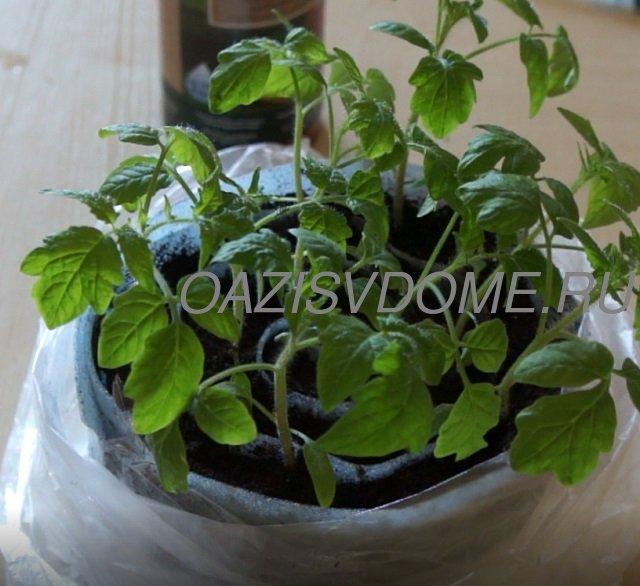 Рассаде томатов в Улитке один месяц