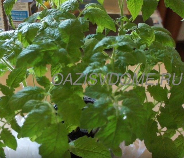 Рассаде помидоров в Улитке полтора месяца