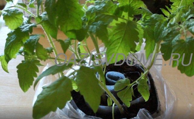 Рассада помидоров в Улитке после пикировки