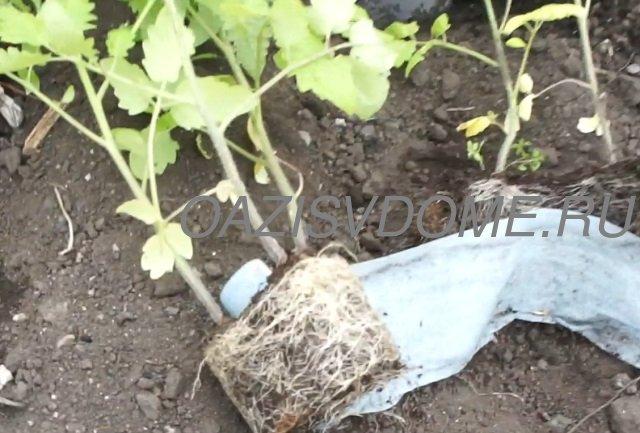 Высадка рассады томатов из Улитки в открытый грунт
