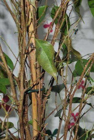 На фикусе опадают листья