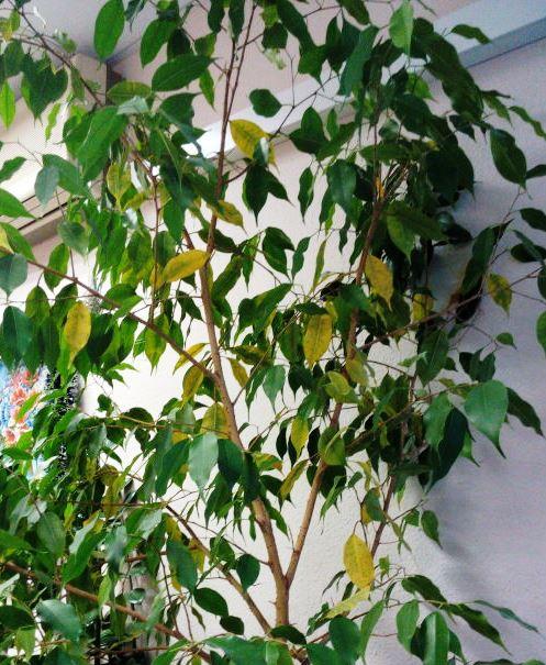 Почему у фикуса опадают листья и что делать, как помочь цветку