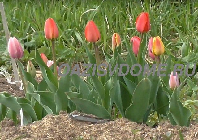 Когда и как правильно сажать тюльпаны весной в открытый грунт